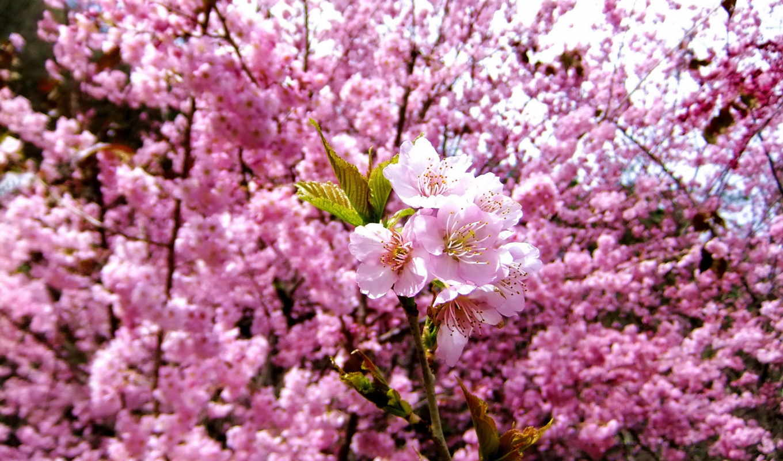 love, есть, god, цветущая, разрешениях, разных, марта, сакуры, cherry,