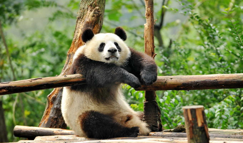 медведи, животные, панды, панда, нашем, сайте,