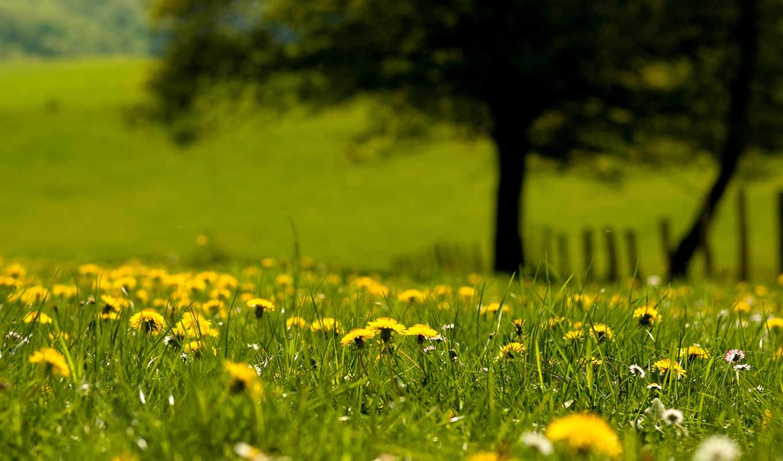 одуванчики, трава, цветы, summer,