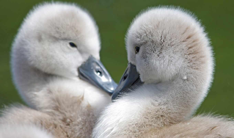 маленькие, перья, клюв, birds, клювы, пушистый, глаза, pair, красивый, desk, без,