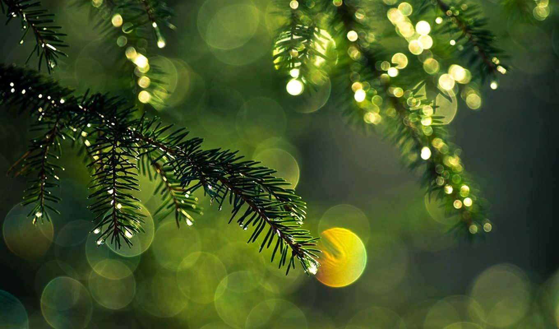 ёль, branch, иголки, блики, свет, зеленые, ветки, капли,