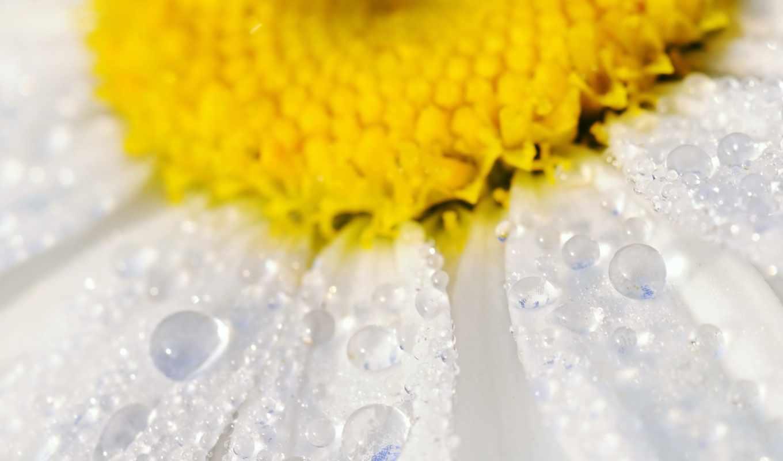 ромашка, макро, цветок, капли, лепестки, вода, природа, мокрая, фотопечать, изображение,