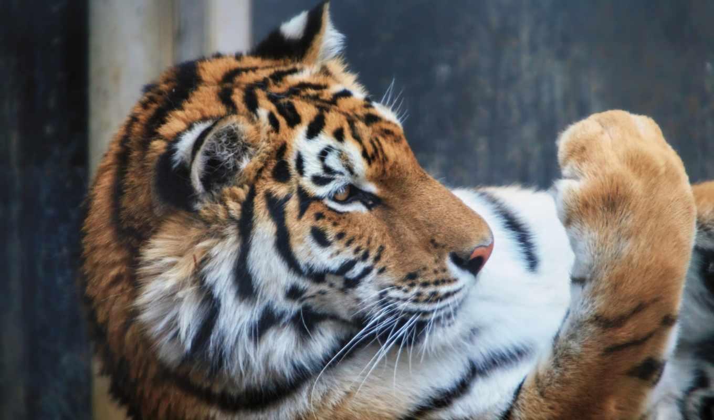 tiger, you, flickr, users, mind, hive, pick, aka, cat, photos, can, sumatra, upau, harimau, kayu, амурский, профиль,