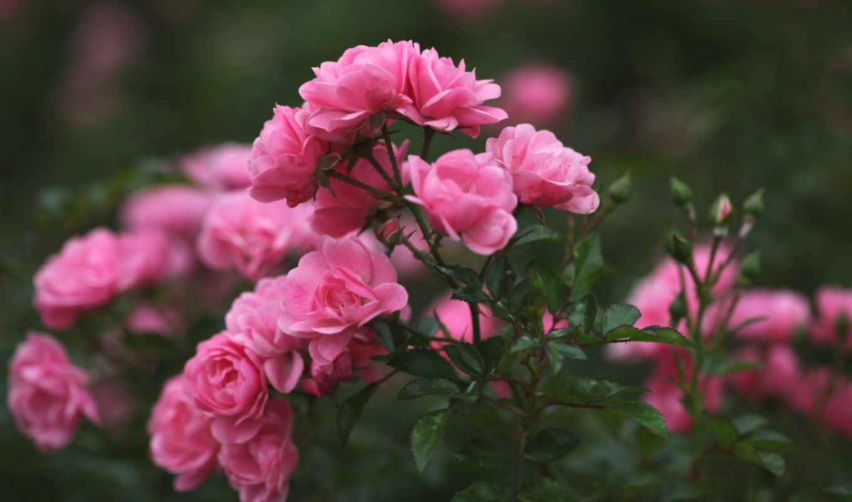 розы, марта, сегодня, дек,