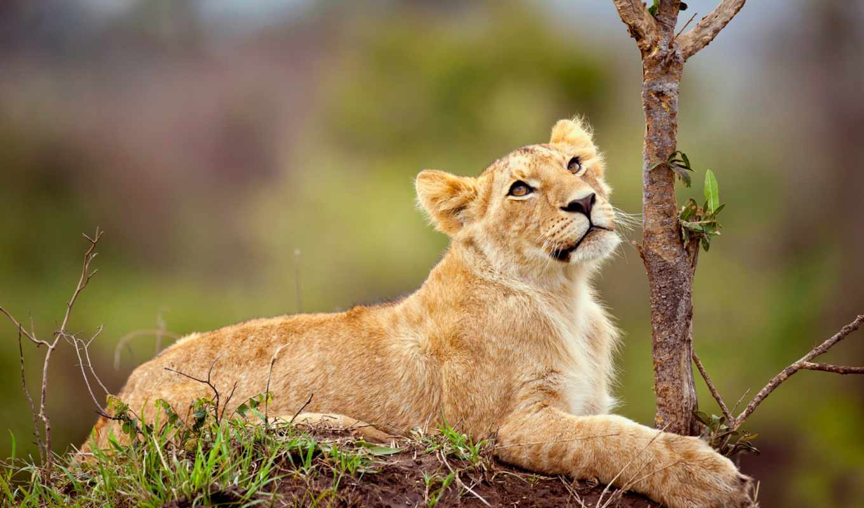 львица, lion, лежит, детёныш, zhivotnye, траве,