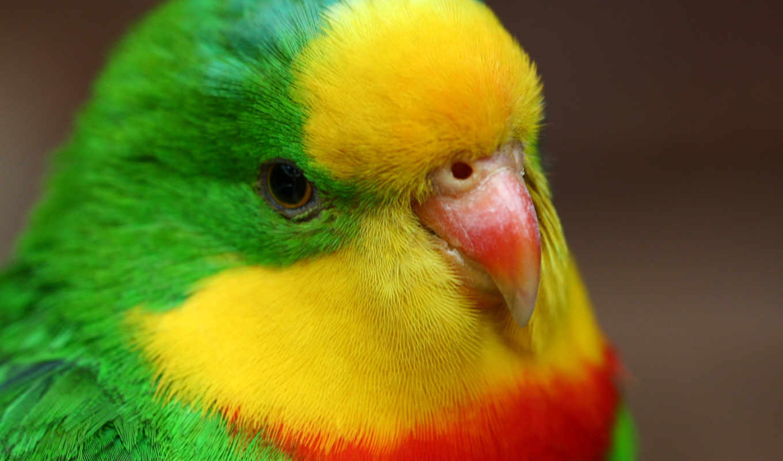 попугаи, попугай, птицы, ipad,