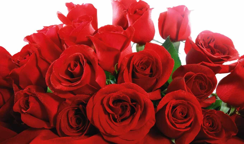 розы, цветы, красные, розовые, цветущей, красной,
