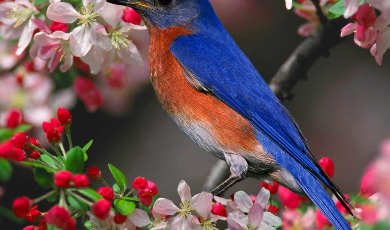 птицы, птица, сиалия, восток, песнь, собрать, синяя, цветущие, trees,,