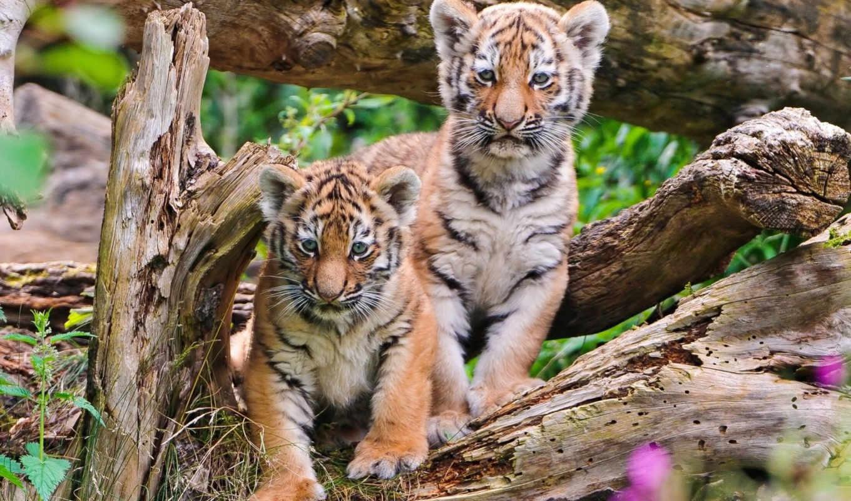тигр, тигры, stitch, cubs, коллекция, кросс, live, природа,