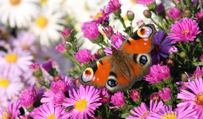 flowers, цветы, бабочка, butterflies, фон, free,