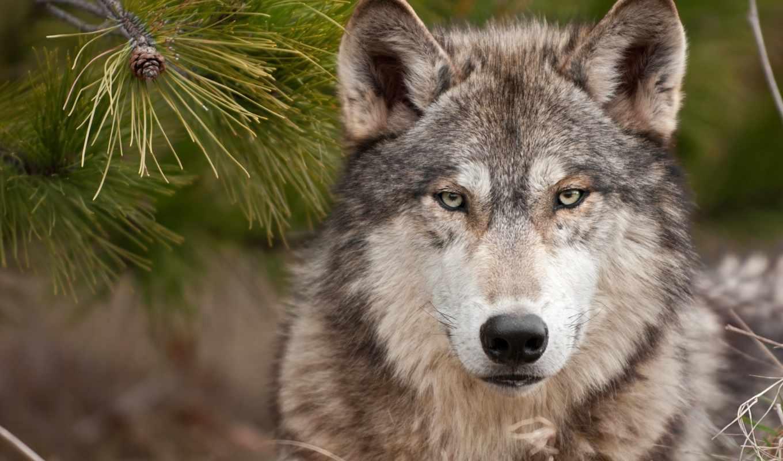 волк, волки, одинокий, дек, взгляд,