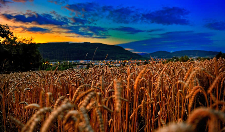 поле, пшеница, закат, небо, колосья, fone,