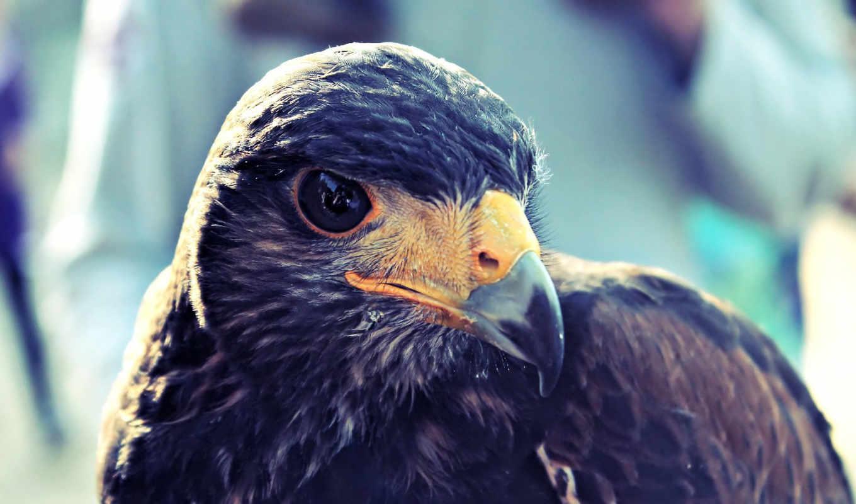 птица, голова, ястреб