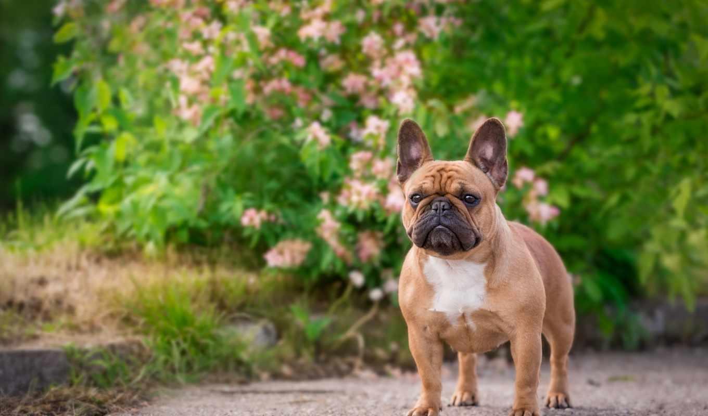 bulldog, french, собака,
