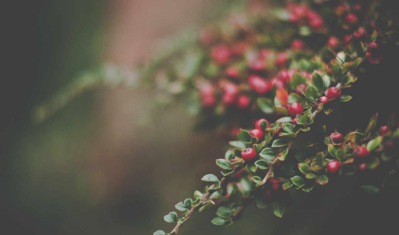 ягоды, ветке, с листочками, макро,