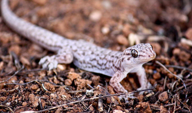 леопард, ящер, white, gecko, макро, фото, id, ago, год,