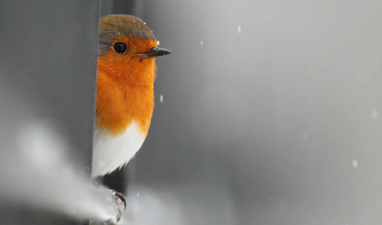 птица, robin, выглядывает, снег, забор,