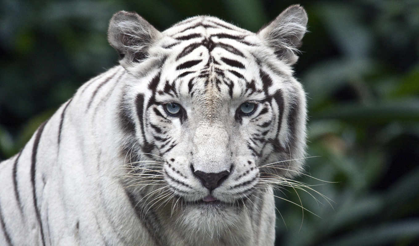 zoo, тигр, white, singapore, tigers, one, pinterest, они,