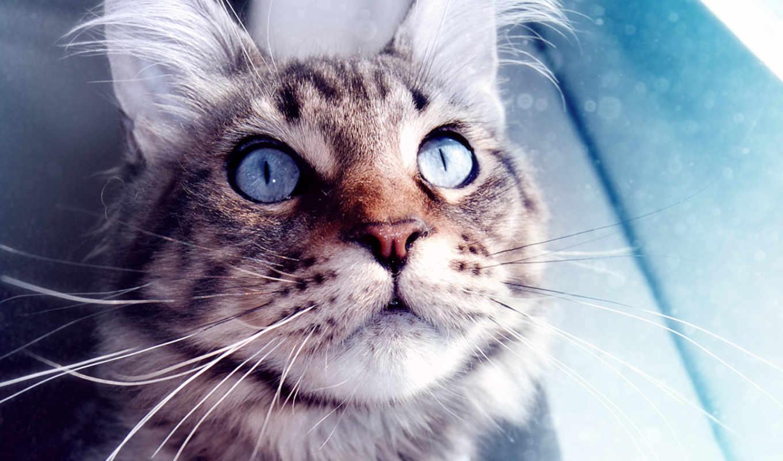 красивых, кот, action, actions, голубоглазый, подб
