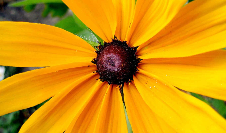 yellow, лепестками, жёлтыми, ромашка, with, petals, фотографии, download,