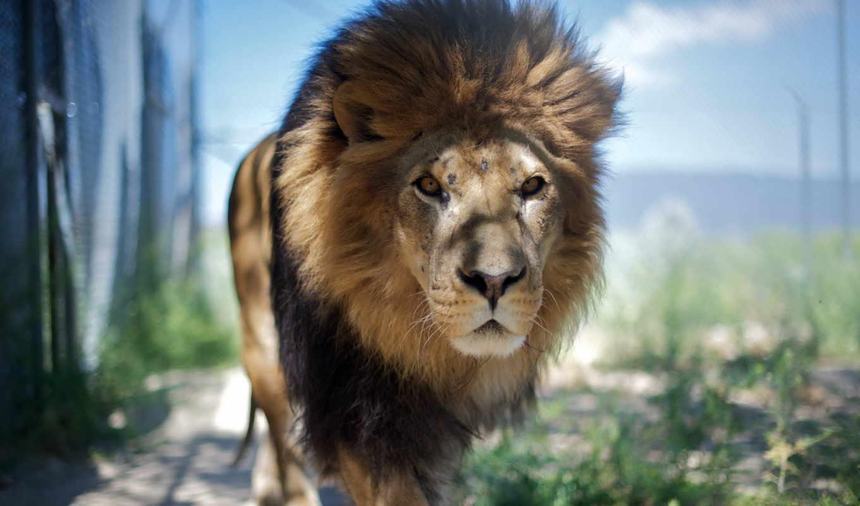 lion, морда, step, свой, прогулка, совершенно, wpapers,