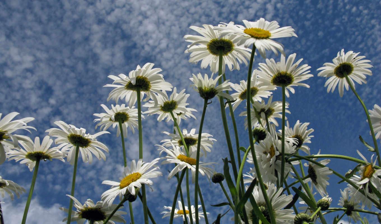ромашки, поле, цветы,