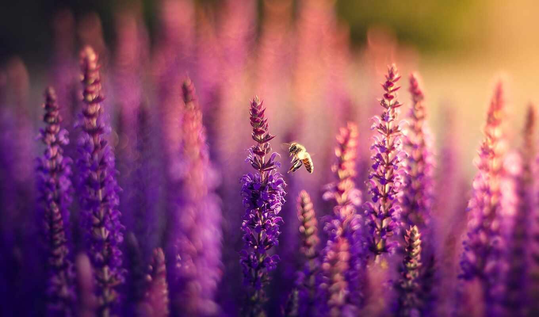 цветы, lavender, сиреневые, природа, пчелка, поле, боке,