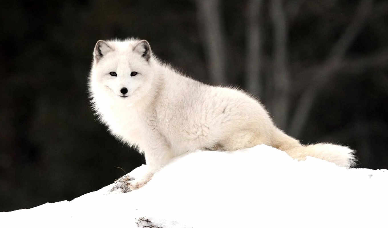 фокс, arctic, природа, снег, arctic fox, animals,