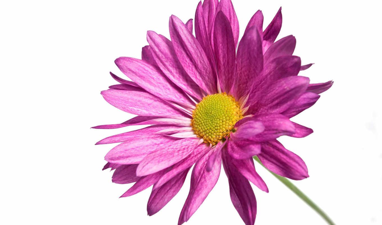 chrysanthemum, цветы, картинка, лепестки, растение, розовый, листва, макро, fone,