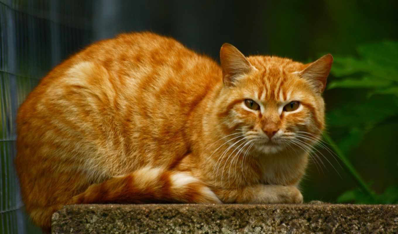 кот, red, большой, ginger, кошки, лежит,