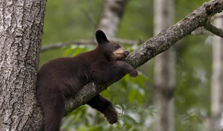 спит, мишка, дерево, коко, леопард,