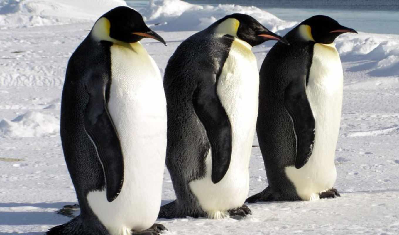пингвин, emperor,