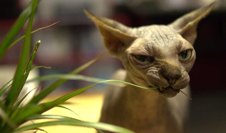 сфинкс, кошка, канадский, кот, взгляд, лысый, глаза, животные,