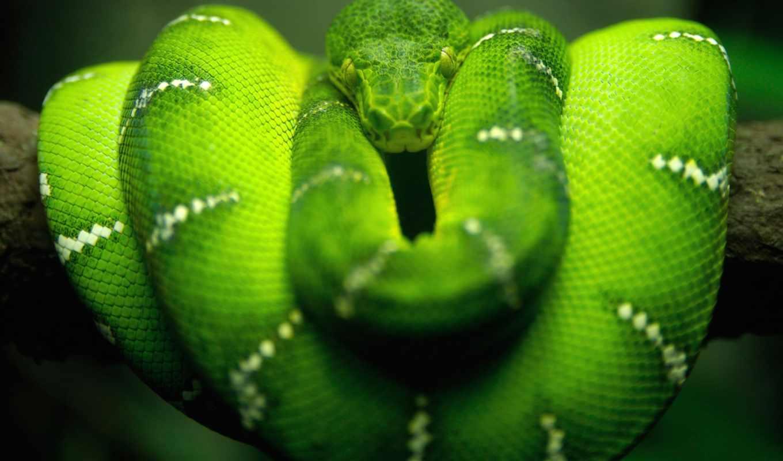 snake, рейтинг, natrix, snakes, зелёная, curled, есть, картинок, images,