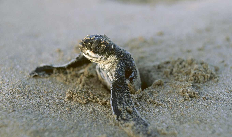 черепаха, baby, animal, черепахи, our, море, впервые,