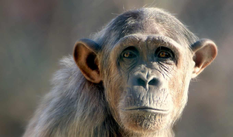обезьяна, обезьяны, desktop, белая, free, белой,