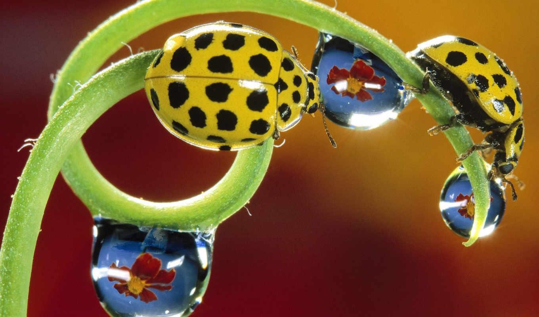 yellow, коровки, ladybirds, божьи, желтые, insects, bugs, макро, download, комп, картинку, великолепных, lady, животными, красивые, kio, сборник,