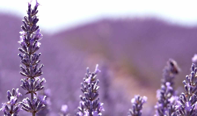 cvety, лаванда, kartinka, горы, makro, priroda, фиолетовые,
