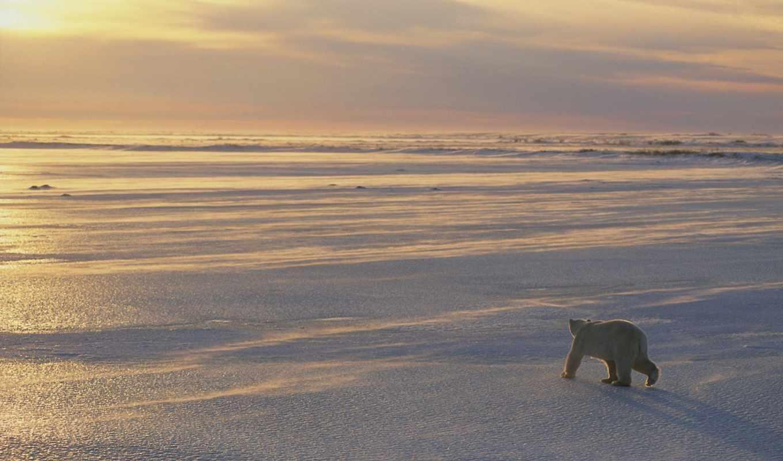 images, fotos, без, bears, олимп, ursos, ours, polaires, parede,