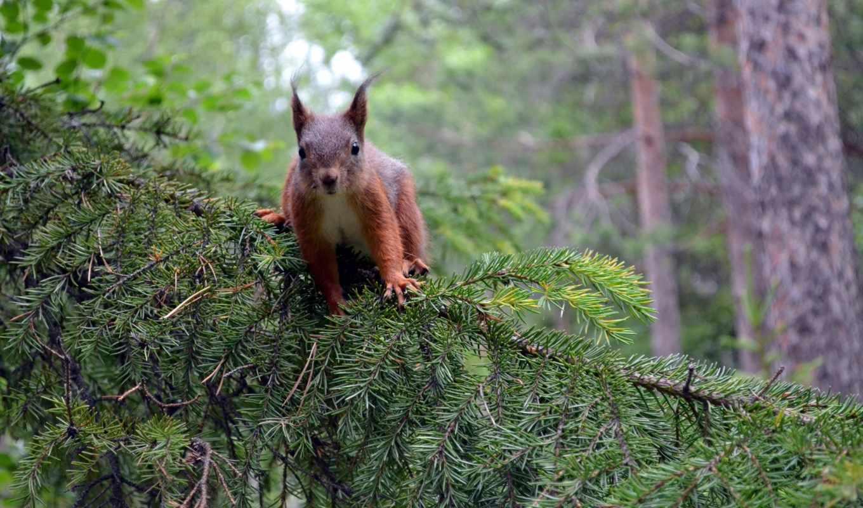 белки, лес, лесу, дата, леса,