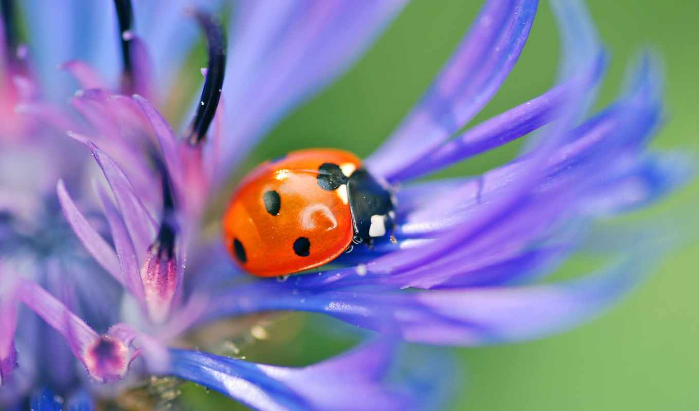 цветы, макро, насекомое, blue, божья, коровка, жук, василек, размытость, картинка,