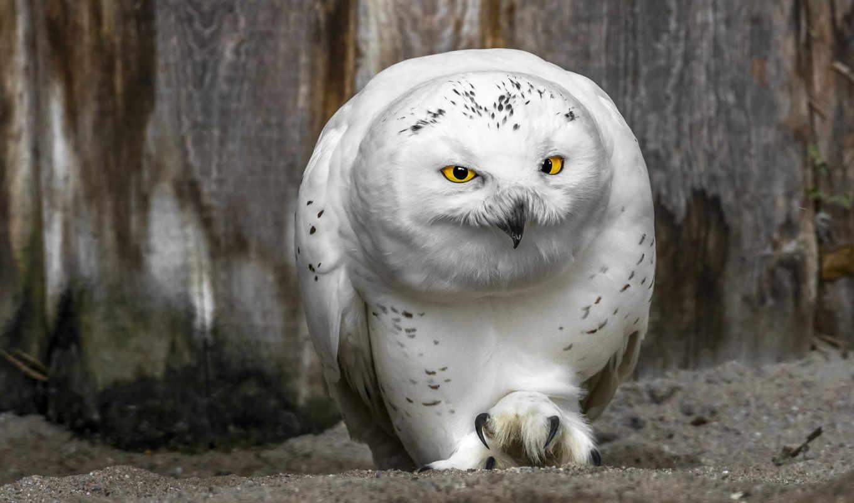сова, белая, птица, полярная, клюв, свет,