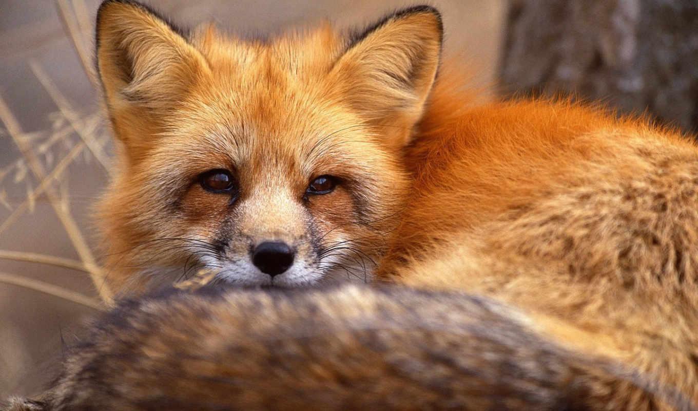 рыжая, обои, лиса, животные, лисица, рыжей, фото,