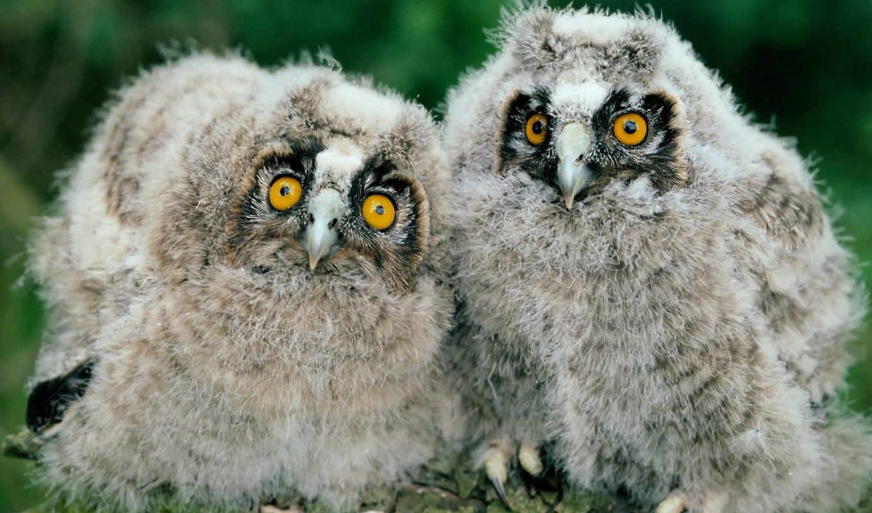 birds, images, long, desktop, eared, chicks, young, owls,