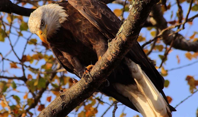 птица, photoshop, орлан, дерево, хищник, белоголовый, категории, zhivotnye,