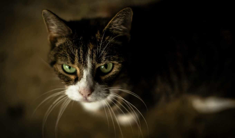кот, морда, desktop, смотреть,
