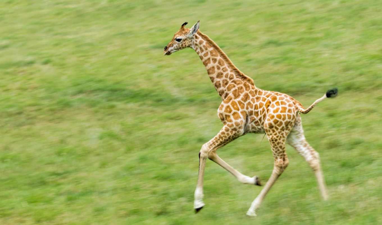 жираф, животных, зооклубе, фото, картинка, other, статьи, теме, семья, жирафы,