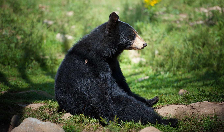 медведь, zhivotnye,
