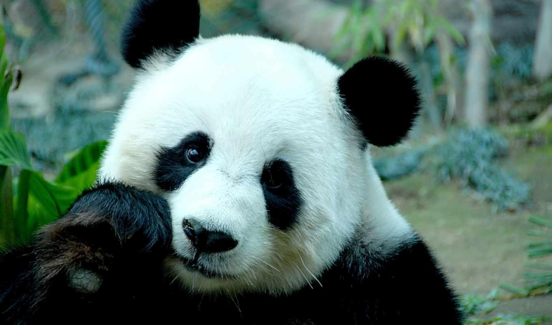 панда, большая, панды, гигантская, медведь, медведей, бамбук, яndex,