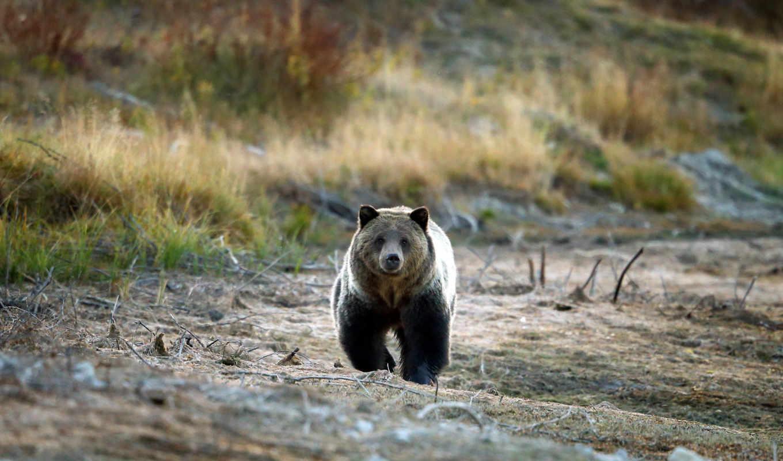 niedźwiedź, tapety, grizzly, nieg, медведь, tapeta, obrazki,
